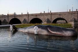 Expectación por la aparición de un cachalote en Madrid