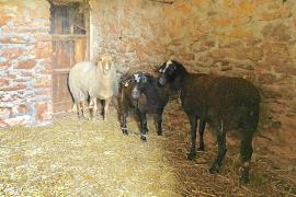 Los ganaderos de Formentera se sienten indefensos tras los últimos ataques de perros