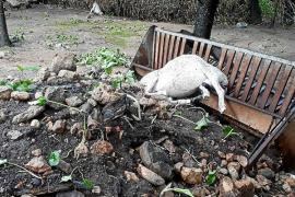 Animal muerto por las inundaciones en Pollença