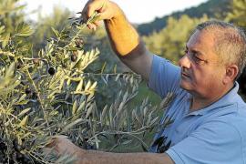 Reconocimiento al aceite de oliva ibicenco al entrar en el Catálogo Balear de alimentos tradicionales