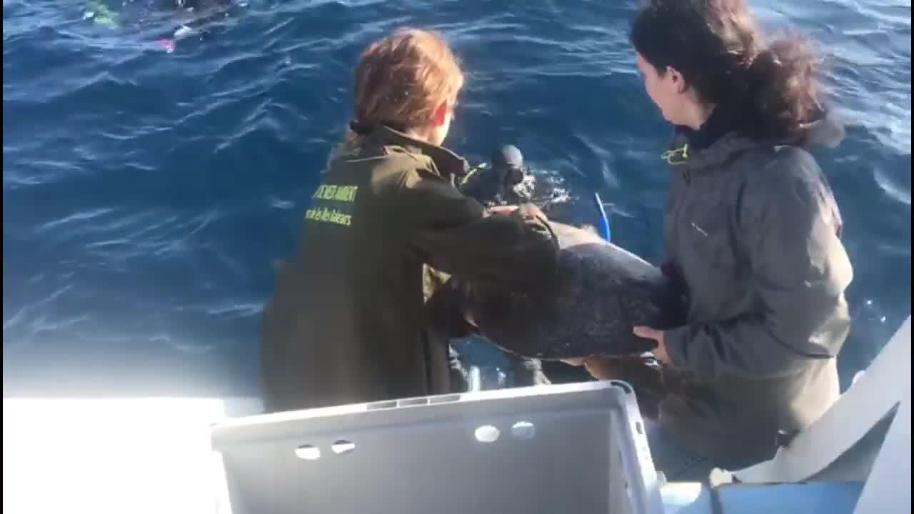 La tortuga Pepi vuelve al Mediterráneo tras un mes de recuperación en el CREM