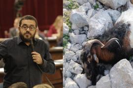 Vidal reconoce que no tuvieron «éxito» al combatir las cabras de Es Vedrà