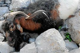 Basta Ya de Maltrato Animal convoca una concentración por las cabras de es Vedrà