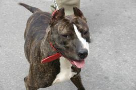Interponen seis denuncias a propietarios de perros de raza peligrosa en Ibiza