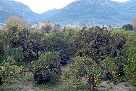 Naranjos en la zona de ses Planes en Sóller