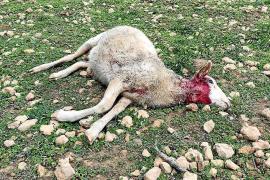 Mueren siete ejemplares de un rebaño por un nuevo ataque de perros en Formentera