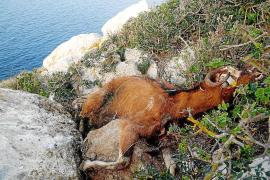 El Consell será quien tome la iniciativa en la retirada de las cabras de Es Vedrá