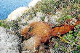 Assaib recurre por la vía administrativa la resolución de la matanza a tiros de las cabras de es Vedrà