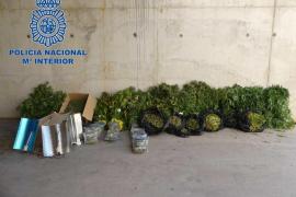 La Policía Nacional detiene a cuatro personas como responsables de una plantación de marihuana en Ibiza