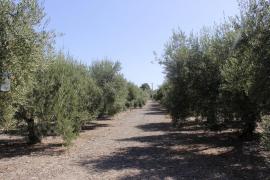 Detectados 228 positivos por Xylella en Ibiza y ninguno en Formentera