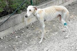 Se buscan madrinas y padrinos solidarios para trasladar dos perros de Dénia a Ibiza