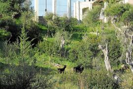El Govern recupera las cabras y ovejas en Puig des Molins para mantener limpio el campo