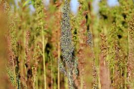 Podemos apuesta por legalizar el cannabis para diversificar la economía de Ibiza