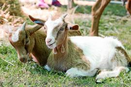 La vida campestre se palpa en la VIII Fira Rural de ses Quatre Véndes
