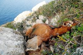 Assaib pide no utilizar las cabras para hacer electoralismo y sacarlas a todas de es Vedrà
