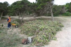 Programa de lucha contra especies invasoras en ses Salines de Formentera