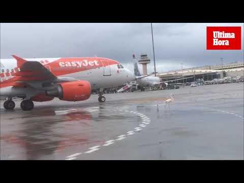El flamenco que se pasea por la pista del aeropuerto de Palma