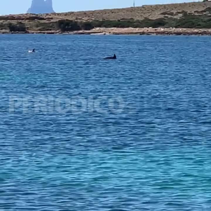 Vídeo | Avistamiento de delfines en s'Espalmador