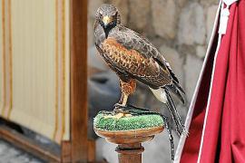 Assaib denuncia la situación de los animales exhibidos durante la Feria Eivissa Medieval