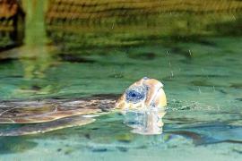 Un pescador rescata una tortuga de casi 40 kilos cerca del Cap Nonó