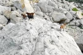 El Consell pide al Govern permiso para retirar las cabras vivas de es Vedrà el último día de mandato