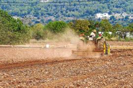 Las cosechas ibicencas registran un 50 % menos de cereal durante esta campaña