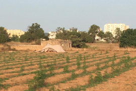 La Guardia Civil investiga una plantación de cáñamo en Sant Antoni