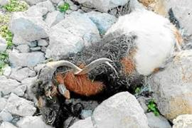Vicent Marí: «Haremos los esfuerzos necesarios para que se saquen las cabras de es Vedrà con vida»