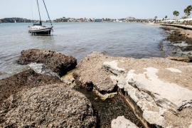Vila retira un total de 550 camiones de posidonia muerta de la playa de Talamanca entre abril y junio