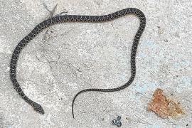 Alertan por la proliferación de serpientes en zonas de Sant Carles