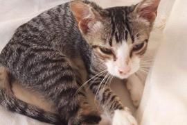 Ofrecen 1.000 euros a quien encuentre a un gato de dos meses perdido en Ibiza