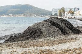 La posidonia muerta se vuelve a acumular en la orilla de Platja d'en Bossa