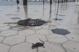 Residuos y ratas muertas tras la tormenta en Ibiza