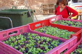 Campaña de la oliva de mesa