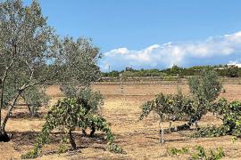 Agricultores de Formentera reciben como agua de mayo las últimas lluvias
