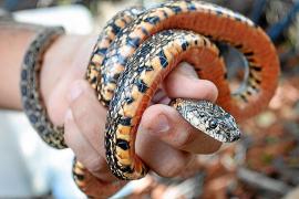 Vecinos de las Pitiusas piden a las instituciones erradicar las serpientes