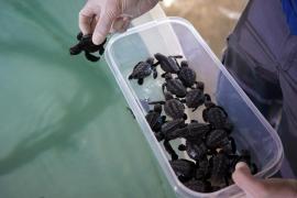 Las tortugas marinas nacidas en Ibiza se trasladan a Palma y Valencia