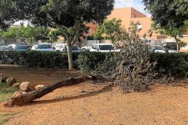 Un árbol muerto en Cas Serres