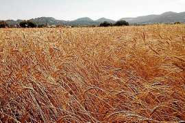 El Consell promocionará el pan artesanal de 'blat de xeixa' integral de Ibiza a partir de noviembre