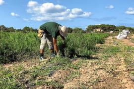 Comienza con éxito la cosecha de hierbaluisa en Formentera