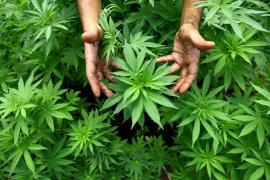 La sanidad británica aprueba dos fármacos a base de cannabis