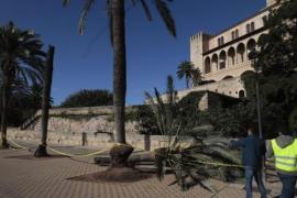 La palmera que causó la muerte a una mujer en Palma estaba sana, según el informe definitivo