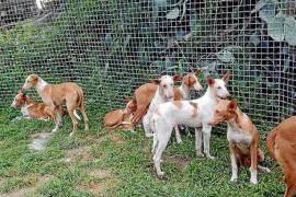 Sant Josep traslada una decena de perros a Mallorca para que sean adoptados