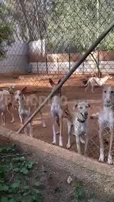 Los animalistas paralizan el traslado de los podencos ibicencos a Mallorca