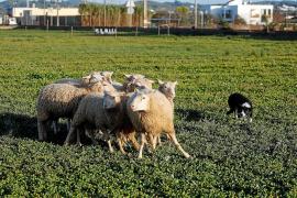 Los border collie ibicencos se ponen a prueba como perros de pastoreo
