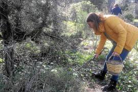 Mal año para las setas en Ibiza por la escasez de lluvia en primavera y los fuertes vientos