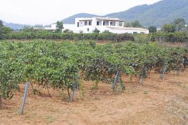 Los primeros vinos espumosos con etiqueta ibicenca