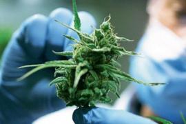 En la Unión Europea 91,2 millones de ciudadanos reconocieron haber consumido cannabis alguna vez en su vida