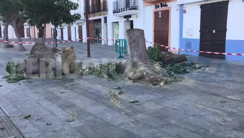 Talan un árbol en el puerto de Ibiza por riesgo de caída