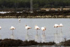Medio ambiente confirma que el cambio climático afecta a la migración de las aves en Ibiza y Formentera